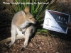08-red-necked-wallaby-poster